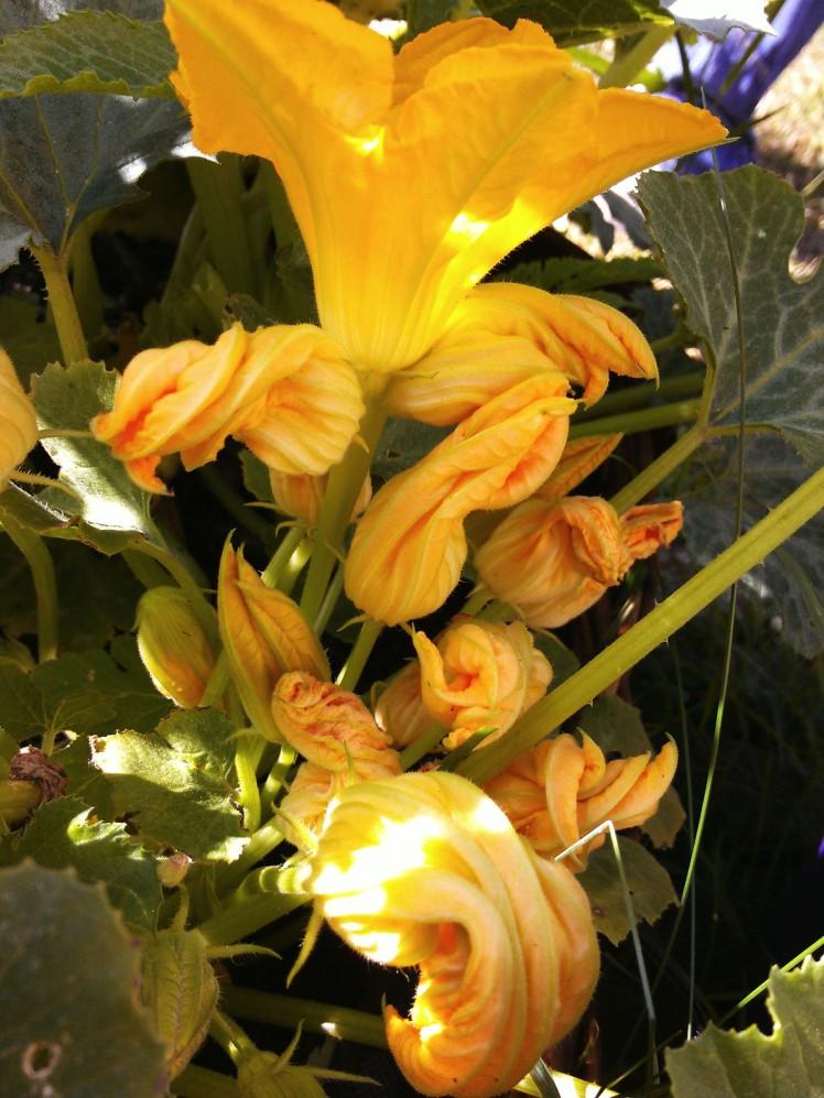 les fleurs de courgettes