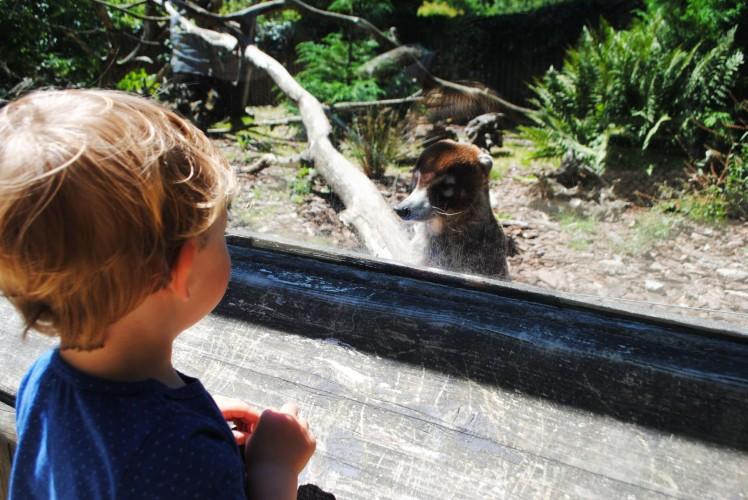 zoo de la bourbansais coatis